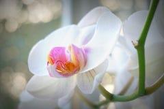 Orchidée blanche Photographie stock libre de droits