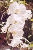 Orchidée blanche Image stock
