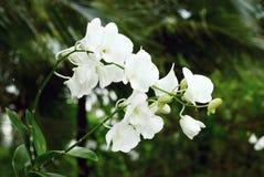 Orchidée blanche Photo libre de droits