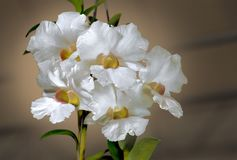 ORCHIDÉE BLANCHE D'HYBRIDE DE CATTLEYA Photo stock