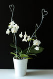 Orchidée blanche dans le pot Photo stock