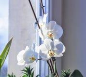 Orchidée blanche de floraison sur la fenêtre photo libre de droits