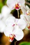 Orchidée blanche de Phalaenopsis Photos stock