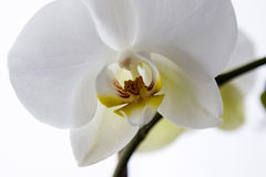 Orchidée blanche de Phalaenopsis Photo stock