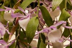 Orchidée blanche et pourpre d'Aphyllum Photos stock