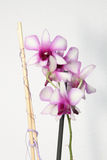 Orchidée blanche et rose Photos stock