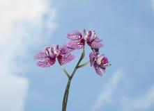 Orchidée blanche pourpre Photographie stock libre de droits