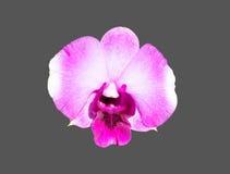 Orchidée blanche pourpre Photos stock