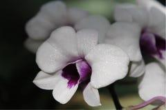 Orchidée blanche, orchidée sauvage Photo libre de droits