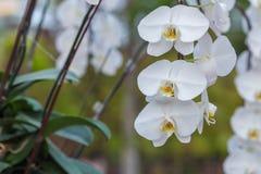 Orchidée blanche sur l'inflorescence dans le jardin Photos stock