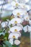 Orchidée blanche sur l'inflorescence dans le jardin Image libre de droits