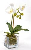 Orchidée blanche sur le fond blanc images libres de droits