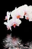 Orchidée blanche sur le fond noir Photographie stock libre de droits