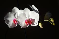 Orchidée blanche sur un fond noir photos libres de droits