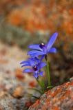 Orchidée bleue de barbe (deformis de Cyanicula) Photographie stock