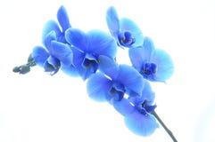 Orchidée bleue de fleur Photographie stock