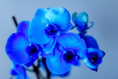 Orchidée bleue sur un fond froid photo stock