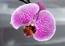 Orchidée, botanique, instruction-macro Image stock