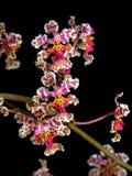 Orchidée : Cartaghenense d'Oncidium image libre de droits