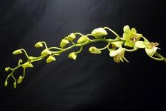 Orchidée cireuse verdâtre Flowe photographie stock libre de droits
