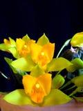 Orchidée : Cochleata de Lycaste image libre de droits