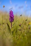 Orchidée colorée sur l'île du Wadden Photos stock