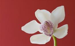 Orchidée-Cymbidium Photos stock