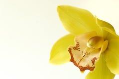 Orchidée-Cymbidium Image stock