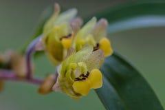 Orchidée d'amica d'Eria en nature Photographie stock