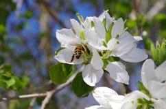Orchidée d'Anacacho avec l'abeille, San Antonio Botanical Garden photographie stock libre de droits