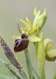 Orchidée d'araignée tôt photographie stock libre de droits