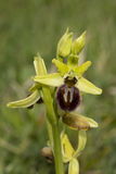 Orchidée d'araignée tôt, sphegodes d'Ophrys photographie stock
