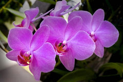 Orchidée d'espèces de Phalaenopsis Photographie stock libre de droits