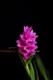 Orchidée d'Isochilus Images libres de droits
