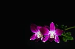 Orchidée d'isolement sur le fond noir Image libre de droits