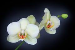 Orchidée d'isolement sur le noir Image stock