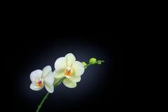 Orchidée d'isolement sur le noir Photos libres de droits