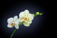 Orchidée d'isolement sur le noir Photo stock