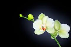 Orchidée d'isolement sur le noir Photographie stock