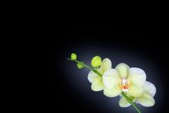 Orchidée d'isolement sur le noir Photos stock