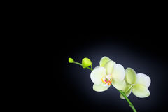 Orchidée d'isolement sur le noir Photo libre de droits