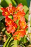 Orchidée d'orange rouge de couleur de la Thaïlande Photo libre de droits