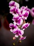 Orchidée d'orchidée de Yukidian, rose et blanche photographie stock libre de droits