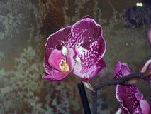 Orchidée dans la chambre Images libres de droits