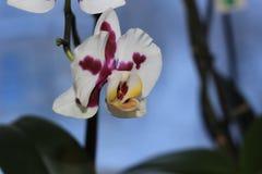 Orchidée dans la chambre Photos stock