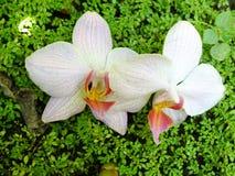 Orchidée dans le jardin Photos libres de droits