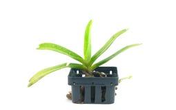 Orchidée dans le pot Photos stock