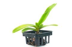 Orchidée dans le pot Photo libre de droits