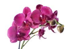 Orchidée dans le pot de fleurs Image libre de droits