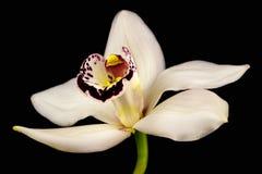 Orchidée de bateau Photographie stock libre de droits